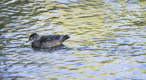 Duck il nuoto su un fiume l'un giorno di estate Fotografia Stock Libera da Diritti