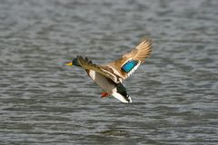 Free Duck In Flight Stock Image - 1910581