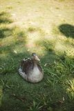Duck incubating eggs on the grass stock photography