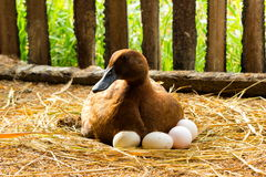 Duck incubator her eggs on the straw nest. Stock Photography