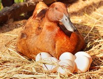 Duck incubator her eggs on the straw nest. Stock photo Royalty Free Stock Photography