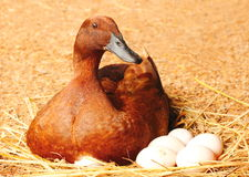 Duck incubator her eggs on the straw nest. Stock Photos