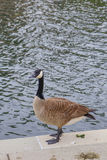 A duck in Indianapolis city canal Royalty Free Stock Photos