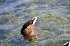 Free Duck Is Diving Under Water Royalty Free Stock Photography - 119672497