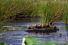 Duck Island siffleur errant images libres de droits