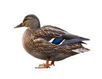 Duck isolated Royalty Free Stock Photo