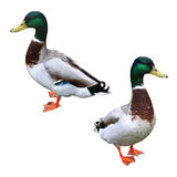 Duck (isolated). Two ducks (isolated in white background Stock Images