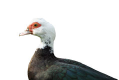 Duck isolated. Muscovy Duck isolated over white royalty free stock images