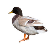 Duck. Isolated over white Royalty Free Stock Image