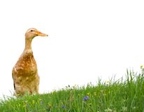 Duck isolated Royalty Free Stock Photography