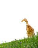 Duck isolated Royalty Free Stock Photos