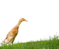 Duck isolated Stock Photos