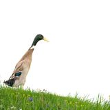 Duck isolated Stock Image