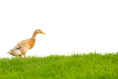 Duck isolated Royalty Free Stock Image