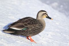 Duck in Japanese winter Stock Photos