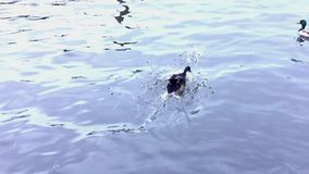 Duck jumps from the shore and lands on the water. stock footage