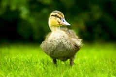 Duck Junior Stock Image