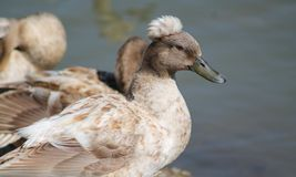 Duck. This duck is just relaxing enjoying the day Royalty Free Stock Photography