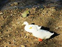 Duck in the Kandy Lake / Sri Lanka Stock Photos