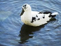 Duck in the Kandy Lake / Sri Lanka Stock Photography