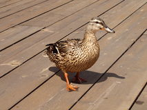 Duck. Royalty Free Stock Image