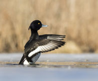 duck kiciasta Obraz Royalty Free