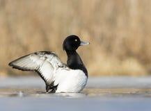 duck kiciasta Fotografia Royalty Free