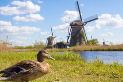 Duck in Kinderdijk, Holland. Duck on a water channel and historical windmills in Kinderdijk, Holland royalty free stock photos
