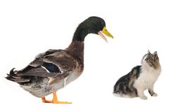 Duck and  kitten Stock Image