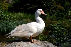 Duck knows to strike a pose! royalty free stock photo