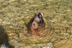 Duck in the Koenigssee close to Berchtesgaden, Germany, 2015 Royalty Free Stock Images