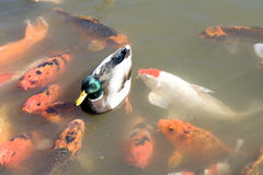 Duck among koi fish Stock Photography