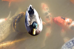 Duck among koi fish Stock Photo