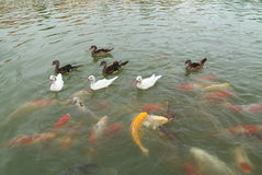 Duck with koi fish swimming in pond Royalty Free Stock Photos