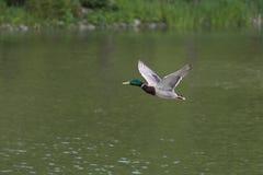 Duck l'aviatore Immagini Stock Libere da Diritti
