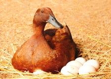 Duck l'incubatrice le sue uova sul nido della paglia Fotografie Stock