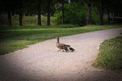Duck la famiglia con 3 anatroccoli che attraversano la strada fotografie stock libere da diritti