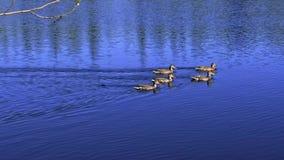 Duck a la familia en el lago azul profundo en un día soleado almacen de metraje de vídeo