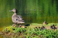 Duck a la familia en un lago en Santiago de Compostela, España Imagen de archivo
