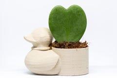 Duck la mini maceta con la flor del corazón admitida el estudio Fotos de archivo libres de regalías