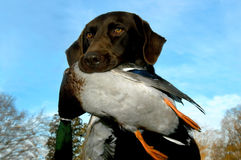 Duck and Labrador. Labrador retriever holds retrieved duck in his mouth.  Blue sky in background and tops of trees.  Brown lab with gold eyes Stock Photography