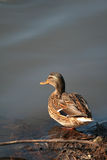 Duck by the lake Stock Image