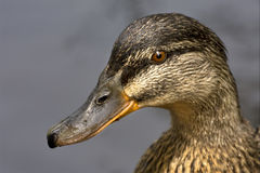 A duck in the lake. A close up of little a brown duck royalty free stock images