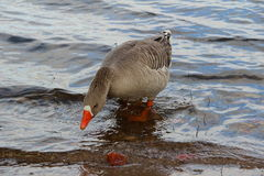 Duck. In lake Royalty Free Stock Photography