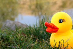 Duck on lake Stock Photography
