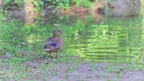 Duck by the lake stock video footage