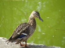 duck-on-lake-border Royalty Free Stock Photography
