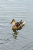 The duck on the lake Stock Photography