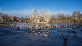 Duck Lake Denver in Winter. Frozen Duck Lake Denver in Winter during day time Royalty Free Stock Photography