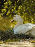 Duck on lake. 2018 photography 123 abcd Royalty Free Stock Image